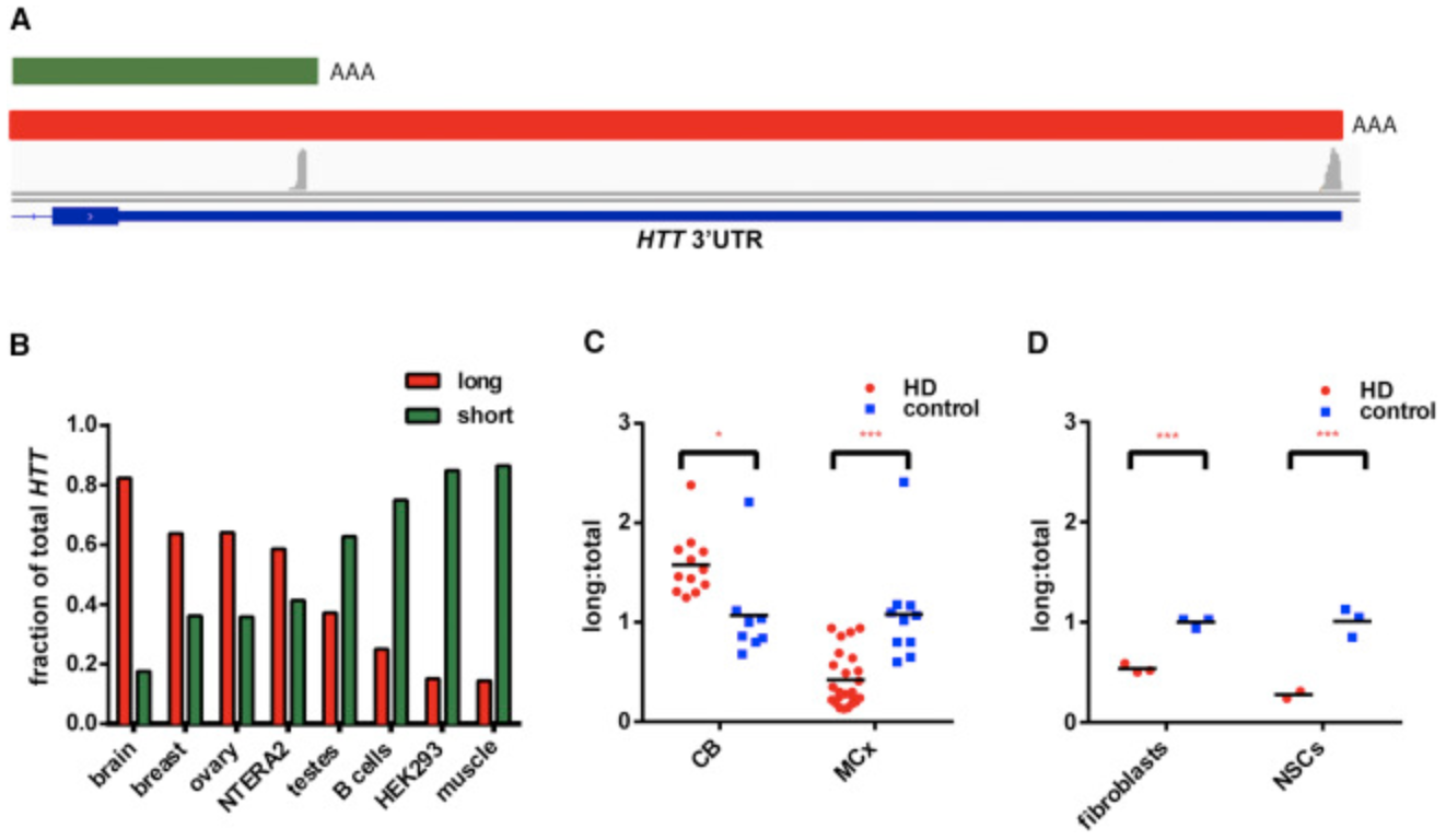 Alterations in mRNA 3′ UTR Isoform Abundance Accompany Gene Expression Changes in Human Huntington's Disease Brains