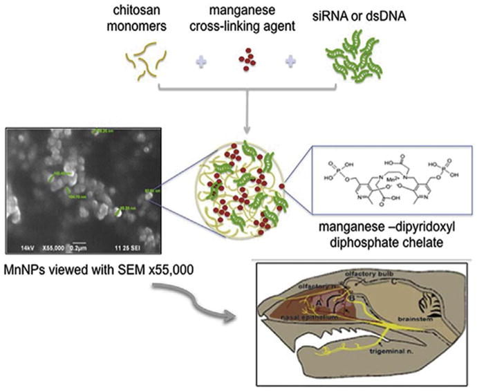 Chitosan-Mangafodipir nanoparticles designed for intranasal delivery of siRNA and DNA to brain