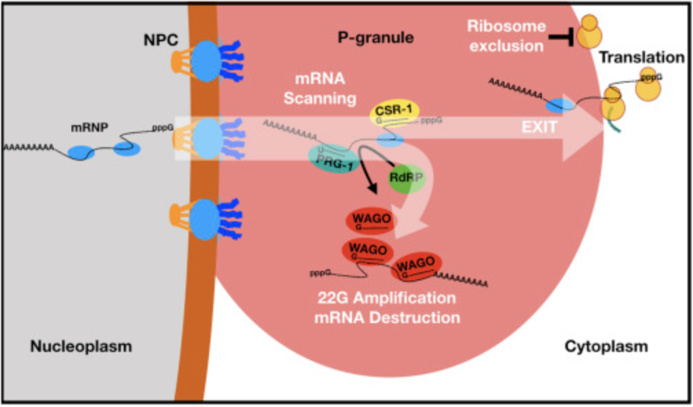 Model. piRNAs Scan mRNAs within Perinuclear Nuage prior to Translation Initiation