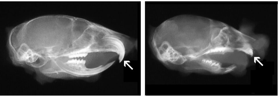 Skulls from 30 day old mice were hemisected and X-rayed. On the left is a wild type mouse; on the right is a TRANCE (RANKL) knockout. Teeth do not erupt in this severely osteopetrotic model, as can be seen for incisors, indicated by arrows, and also for molars, which remain encased in the bone. (see Kim, N, et al. 2000. Proc Nat Academy of Sciences, USA 97 (20):10905-10910, AND Odgren, PR, et al. 2003, Connective Tissue Research 44(suppl 1):264-271).