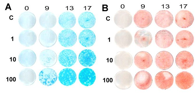 Neonatal rat costochondral chondrocytes were cultured with varying amounts of BMP5 and stained for cartilage matrix (blue) or for mineral (red) as markers for their differentiation state. (see Mailhot G, et al. 2008. J Cell Physiology 214(1):56-64).