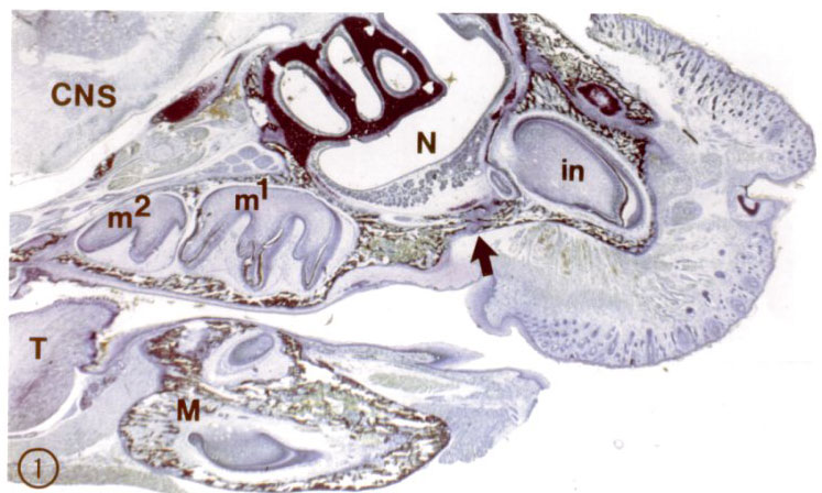 This section shows the important bone growth center, the premaxillary-maxillary suture at the arrow. Toluidine blue stain of paraffin section. CNS = central nervous system; m¹ and m² are the maxillary molars; T = tongue; M = mandible; N = nasal cavity; in = maxillary incisor. (see Marks, SC Jr, et al. 1999, Developmental Dynamics 215(2):117-125).