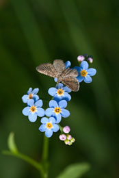 Moth on Forget-Me-Nots