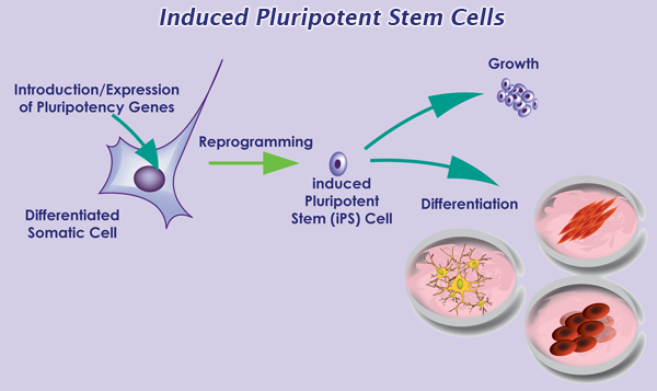 Application of Adult Stem Cells in Medicine - Hindawi