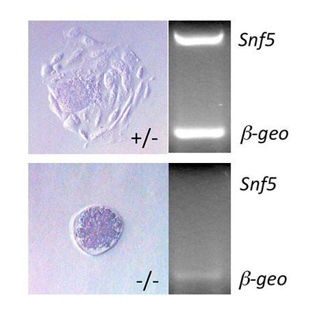 Snf5 is required for blastocyst hatching and ICM expansion.