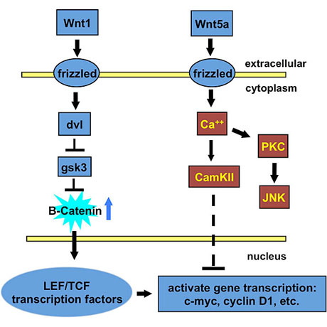Canonical and non-canonical WNT signaling.