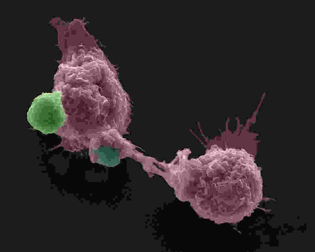 macrophages with GerPs