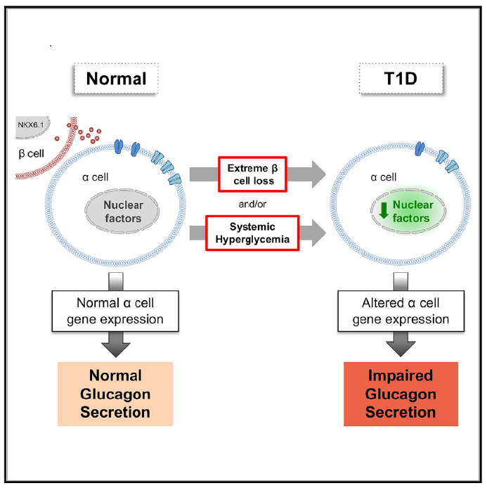 Alpha Cell Function And Gene Expression Are Compromised In Type 1