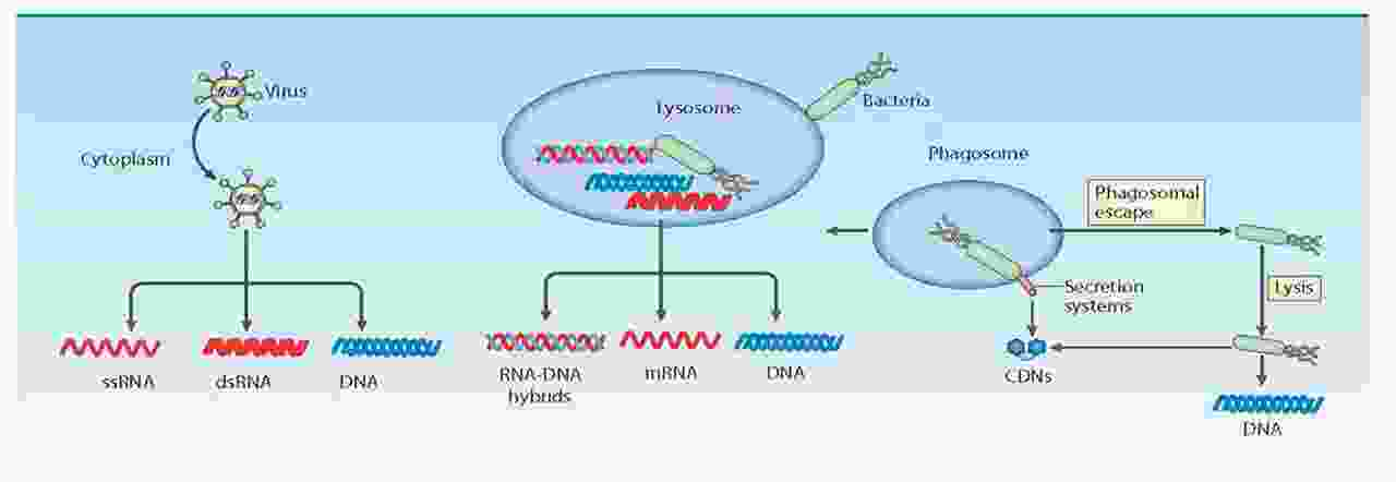 cytosolic nucleic acids.jpg