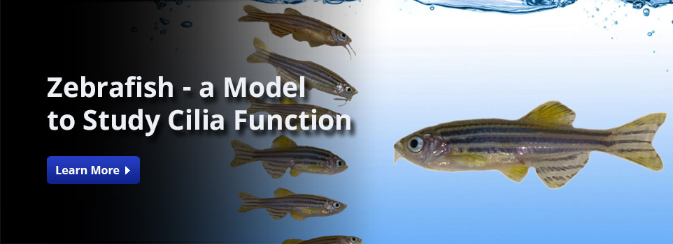 Zebrafish - A model to study cilia function
