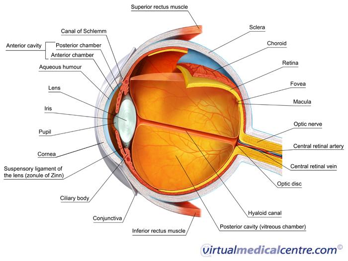 Eye Evolution
