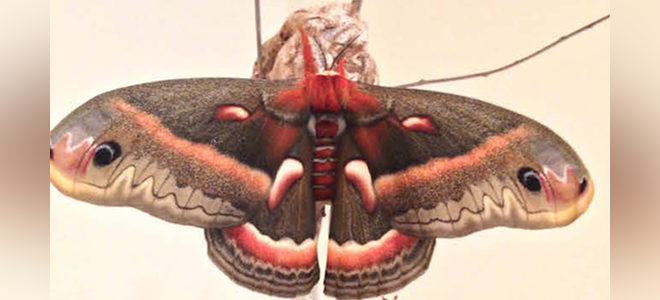 monarch_cecropia3.png
