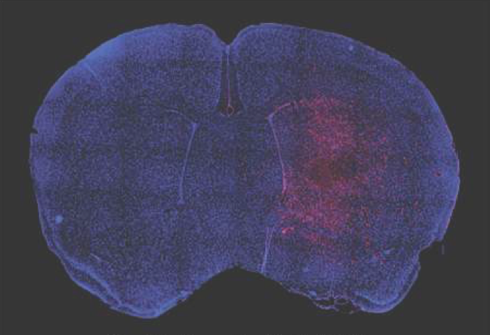 Mouse brain section