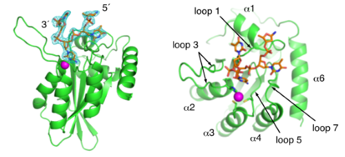 Crystal structure of APOBEC3A bound to single-stranded DNA reveals structural basis for cytidine deamination and specificity.