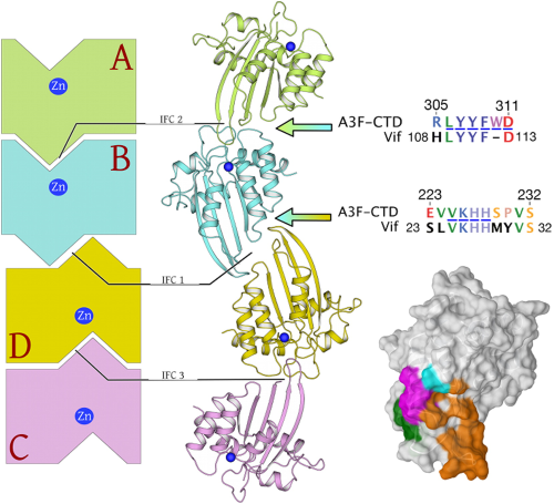 Crystal structure of the DNA cytosine deaminase APOBEC3F: the catalytically active and HIV-1 Vif-binding domain.